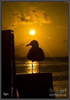 Agus Aldalur - Gaviota tomando el ultimo rayo de sol