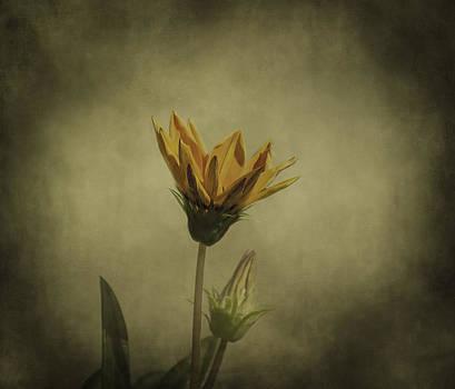 Kim Hojnacki - Gazania Flower