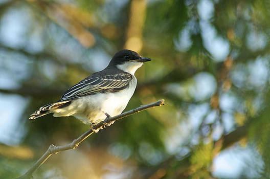 Gazing Eastern Kingbird  by Kathryn Whitaker