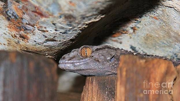 Hermanus A Alberts - Gecko Golden Eye 2