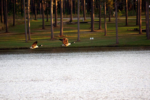 Geese around Lake Seminole by Kim Pate