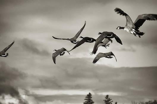 Geese in Flight 2013 by Joseph Duba