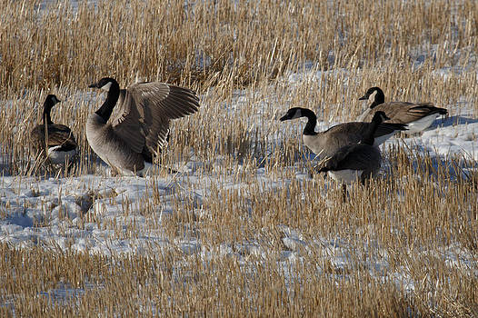 Geese in Snow by Gerald Murray Photography