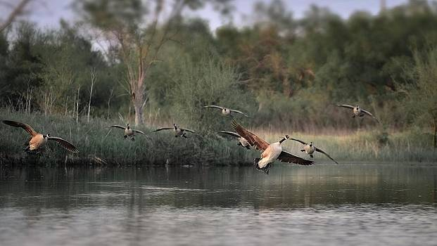 Geese Landing by Garett Gabriel