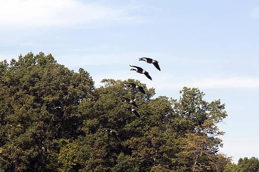 Terry Thomas - Geese Landing