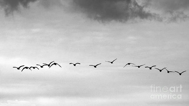 Geese by Mark Thomas