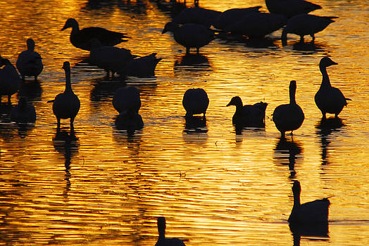 Geese on Golden Pond by Shirin McArthur