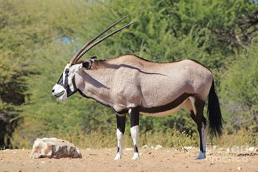 Hermanus A Alberts - Gemsbok Smile of Happiness