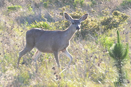 Gentle Deer of San Simeon by Kathy Vilim