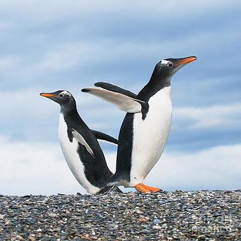 Gentoo Penguins by Konstantin Kalishko