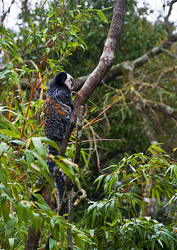 Geoffroy's marmoset by Paul Howarth