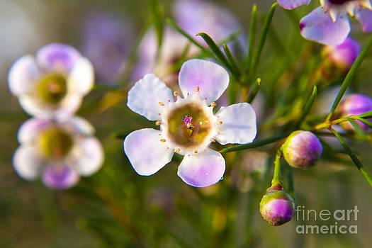 Geraldton Wax Flower by Serene Maisey
