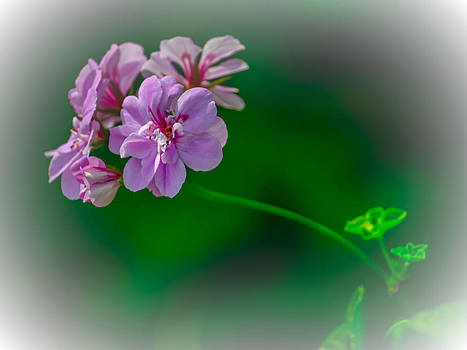 Geranium by Renee Barnes