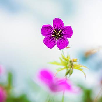 Geranium Summer by Sarah-fiona  Helme
