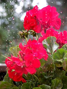 Geraniums in the Rain by Saundra Lane Galloway