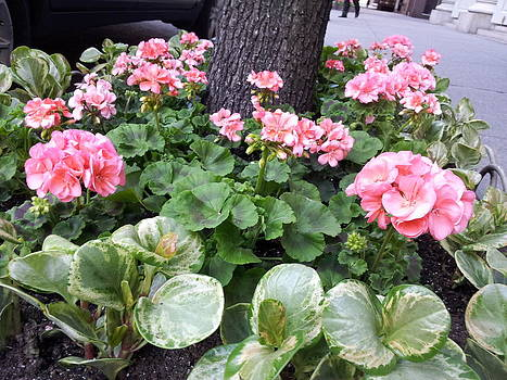 Geraniums by Theresa Crawford