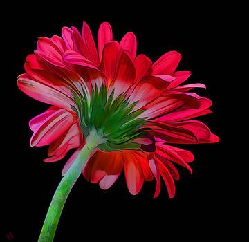 Gerber Daisy by Hazel Billingsley