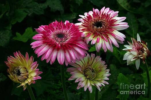 Gerber Daisy  by Randy Bell