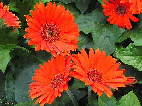 Buzz  Coe - Gerbera Daisies in Red-Orange
