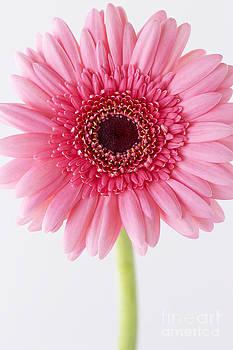 Gerbera Daisy 989 by Cindi Ressler
