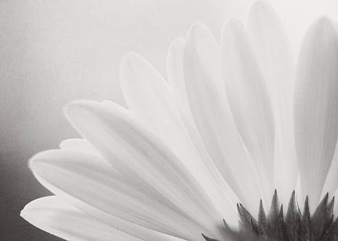 Gerbera Daisy - Black and White by Jessie Gould