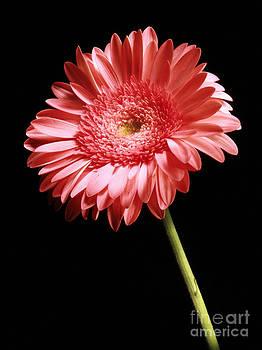 Gerbera Daisy  by Sharon Dominick