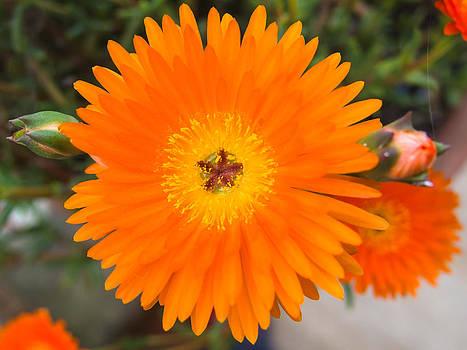 Gerbera flower by Giovanni Bertagna