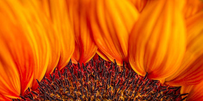 Gerbera on Fire by Adam Romanowicz