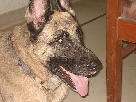 German Shephard by Indrani Moitra
