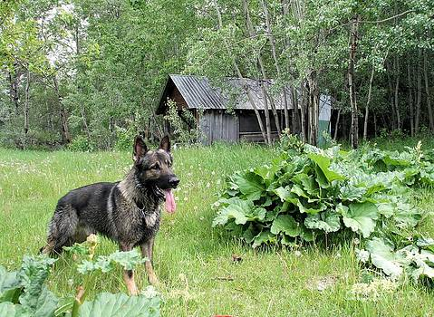 Roland Stanke - German Shepherd in the patch