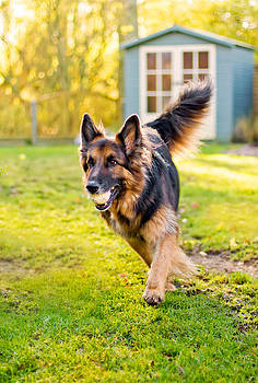 Fizzy Image - german shepherd running with ball in mouth