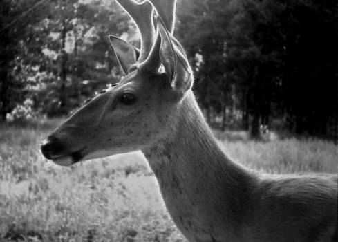 Gilbert Photography And Art - Ghost Buck