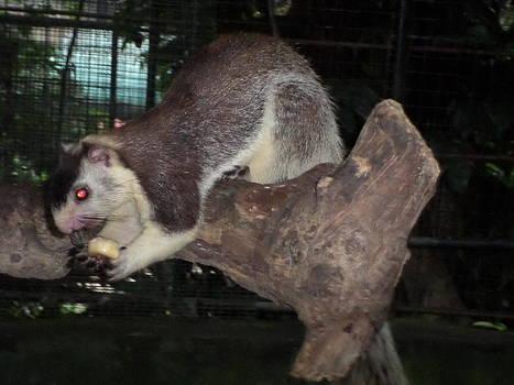 Giant 4quirrel by Sunanda Yapa
