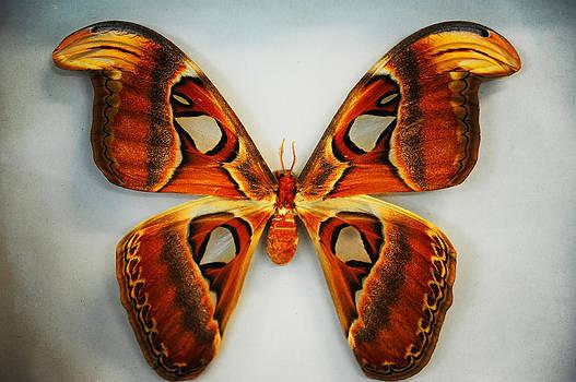 Jenny Rainbow - Giant Atlas Moth