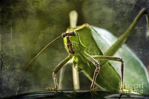 Giant Katydid by Cindi Ressler