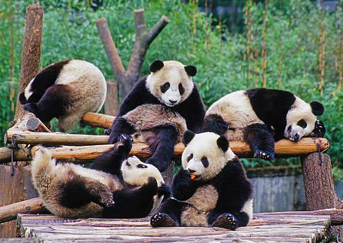 Dennis Cox - Giant pandas