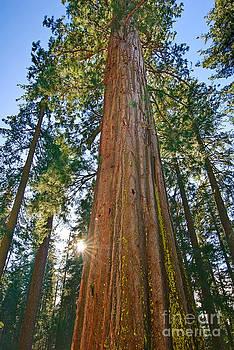 Jamie Pham - Giant Sequoia Trees of Tuolumne Grove in Yosemite National Park.
