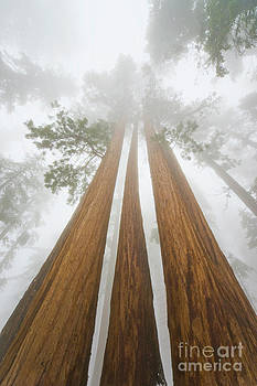 Yva Momatiuk John Eastcott - Giant Sequoias In the Fog