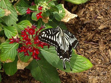 Giant Swallowtail butterfly by Barbara Lightner