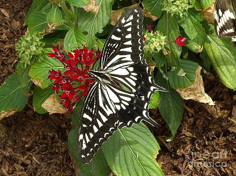 Giant Swallowtail butterfly on red flower by Barbara Lightner