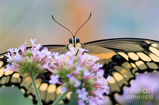 Oscar Gutierrez - Giant swallowtail butterfly