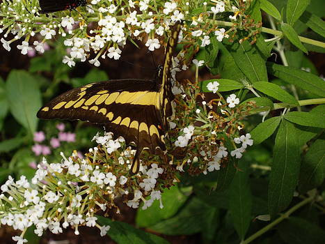 Giant Swallowtail Butterly by Barbara Lightner