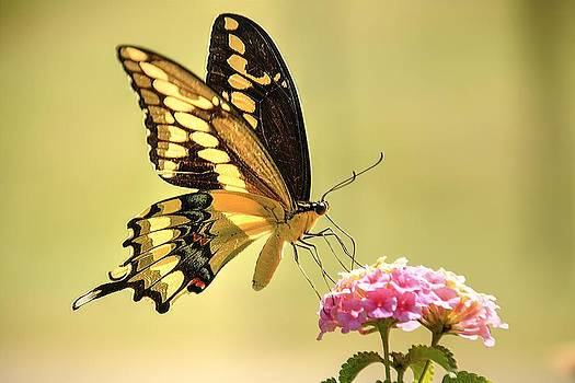 Giant Swallowtail by Lorri Crossno