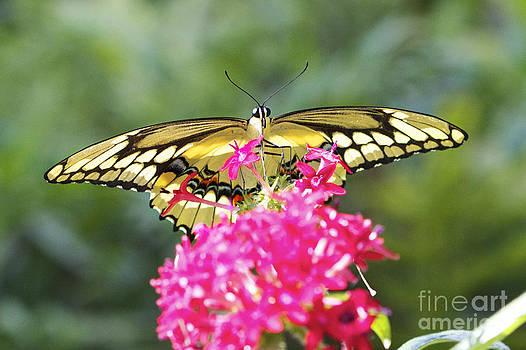 Giant Swallowtail by Pamela Gail Torres