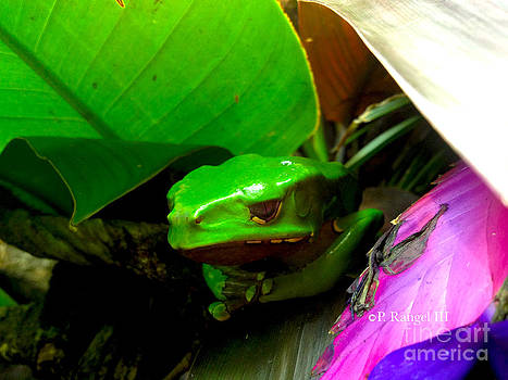 Giant Waxy Monkey Tree Frog by Phillip Rangel