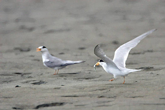 Gift of the Least Tern by Bob Richter