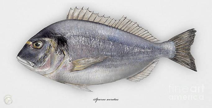 Gilthead Seabream Sparus aurata - Daurade royale - Dorada - Kultaotsasargi - Orata - Seafood Art by Urft Valley Art