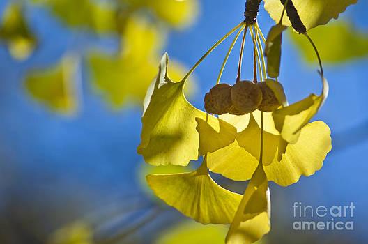 Ginkgo fruits in autumn by Steven Foster
