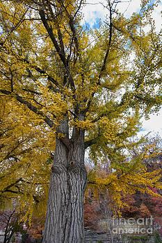 Ginkgo tree 2-1113 by Steven Foster