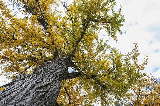 Ginkgo tree 3-1113 by Steven Foster